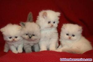 Gatitos persas en busca de un buen hogar