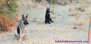 Regalo cachorros de pastora belga y pastor aleman