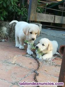 Vendo cachorros de mastin