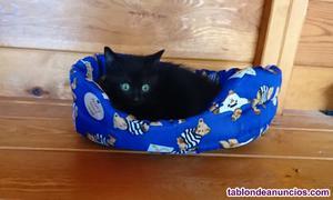 Gatito negro cruce de siamés