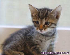 Gatito macho atigrado de 1 mes regalo