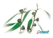 Medisana Frasco 10 Ml Aroma Eucaliptus Soluble En Agua
