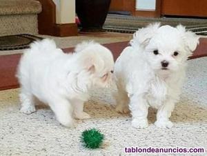 Preciosos cachorros bichon maltes nacionales