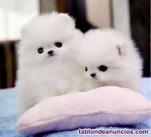 Cachorros de pomerania absolutamente adorables