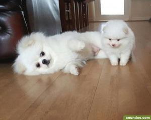 Cachorros de pomerania para adopción - Madrid Ciudad