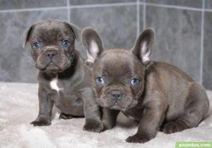 Camada de cachorros de bulldog francés buscando a alguien