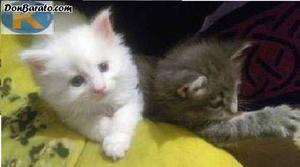 Dos gatitos maine coon
