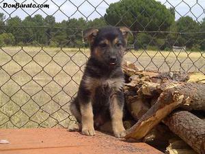 Esplendidos cachorros de pastor aleman