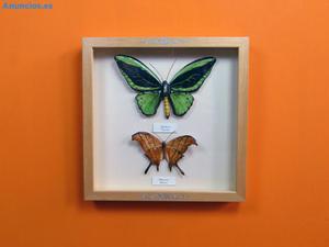 Mariposas De CeráMica Ornithoptera Y Marmesia