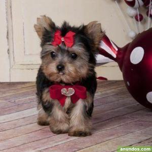 Parejita de cachorros yorkshire terrier - a - Aspariegos