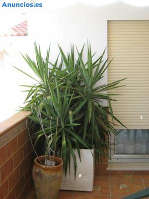 Plantas De Yucas