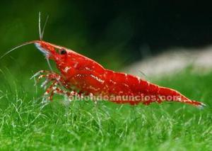 Vendo crias de gambas red cherry