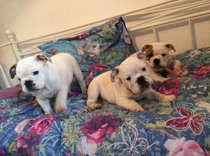 3 cachorros Bulldog Inglés para la liberación