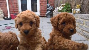 Cachorritos de caniche toy rojos y apricot