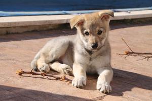Cachorro de perro-lobo checoslovaco