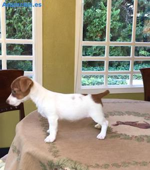 Cachorros De Jack Russell