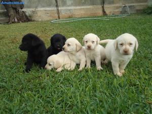 Cachorros De Labrador En Inca