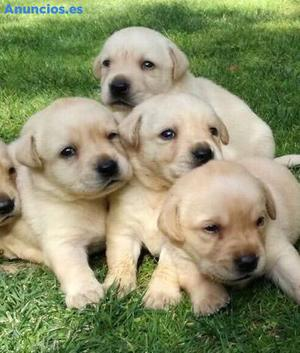 Cachorros De Labrador Retriever Con Pedigree