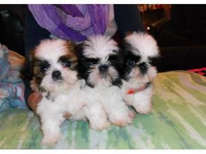Cachorros Mini Shih Tzu para Para Adopcion