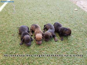 Cachorros Teckel Kaninchen Pelo Duro