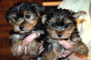Cachorros Yorkie Registrados para Adopción