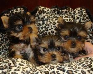 Cachorros Yorkies Taza de té Para Adopción!!!