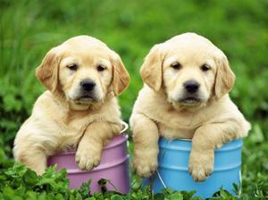 Cachorros inteligentes de labrador retriever para su