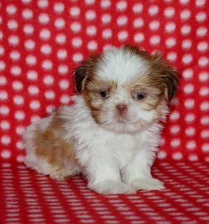 Cariñosos cachorros de Shih Tzu