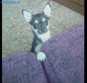Chihuahua Mini Toy Hembra
