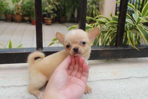 Excelente cachorros Chihuahua
