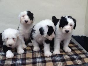 Excelentes cachorros de bobtail muy cariñosos