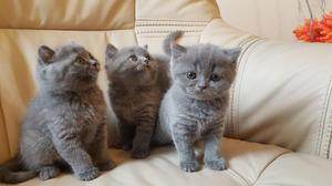 Excelentes gatitos british shorthair