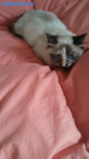 Gatos Peluditos En AdopcióN