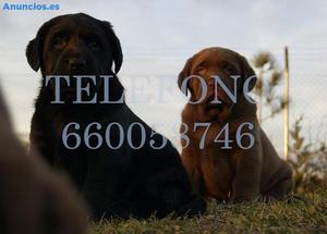 Labrador Cachorros Nacionales De Calidad LOE