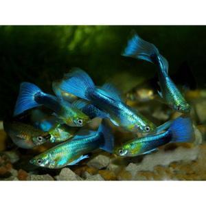 Lote de 5 Guppys Azul Tuxeido Seleccion (2 cm - Alevines)