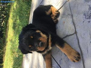 ÚLtima Cachorra Rottweiler Guapisima