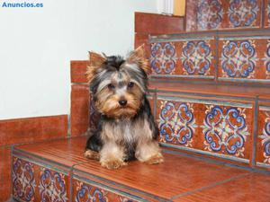 Machito De Yorkshire Terrier De Yorkmari