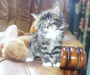 Maine Coon gatitos