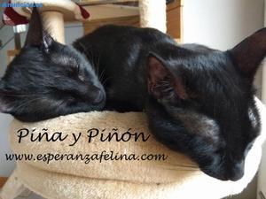 PiñA Y PiñóN, Negruchis En AdopcióN (Alava, Esp.)