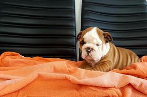Preciosas Camadas Cachorros Bulldog Inglés