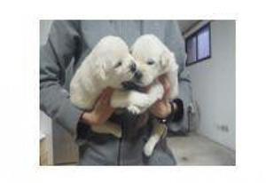 Preciosos cachorros. Padres Husky y Labrador