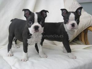 Preciosos cachorros de Boston Terrie