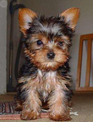 Regalo Cachorros YORCKSHIRE TERRIER para adopcion