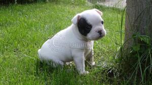 Regalo bulldog frances
