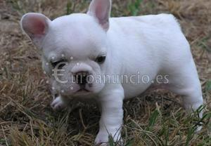 Regalo cachorro bulldog frances macho y hembr
