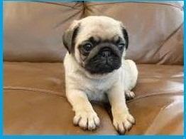 Regalo lindo cachorro de Pug Carlinopara la adopci