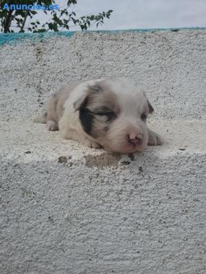 Se Venden Cachorros De Border Collie