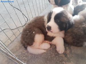 Se Venden Cachorros De San Bernardo