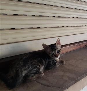 Se regala gatito MACHO