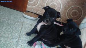 Vendo Camada De Stanford Shire Terrier 180€